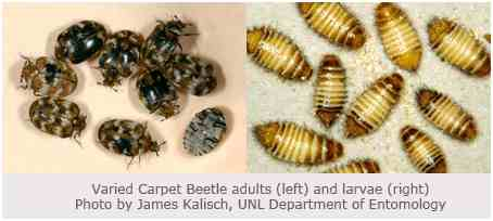 How to get Rid Carpet Beetles – Only 10 Steps to the